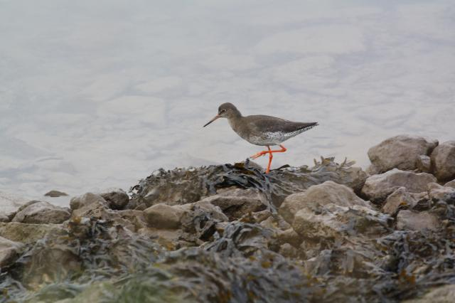 The Redshank is a brown wader with a medium length bill and bright orange legs. Breeds on coastal saltiings and low morrlands.