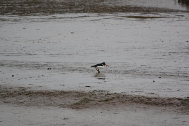 One of the most easily recognisable wading birds with its striking black and white plumage, bright orange bill and red legs. Breeds on almost all coasts of the UK.