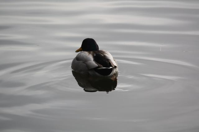 A Mallard, the largest, commonest and most easily identifiable duck in Britain. Male is brightly coloured whilst female is a plainer browny colour.