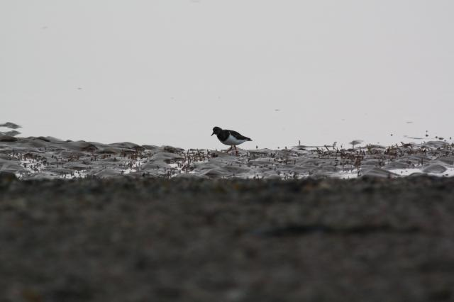 The Turnstone is a small black and white stocky, short-billed wader usually seen amongst rocks, pebbles and seaweed in sandy estuaries.