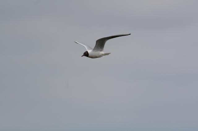 A Black-Headed Gull in winter plumage. In summer pluamge changes so that they have their characteristic chocolate brown hood. they are also easily identified by their red bill and legs. In late summer the dark hood disappears and leaves just a dark smudge behind the eye.