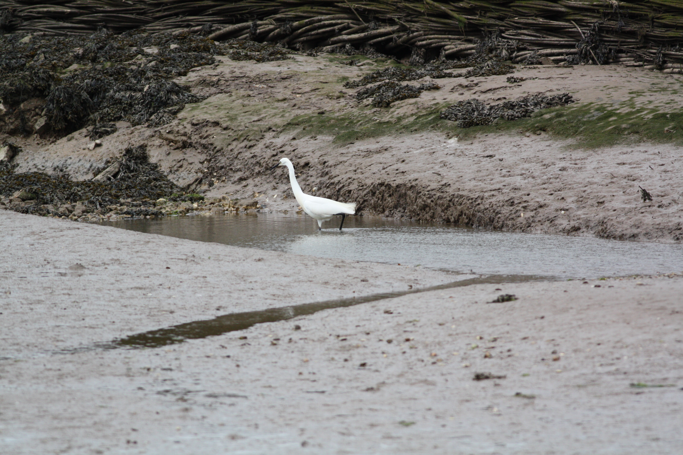 The Little Egret is a member of the Heron family and is found usually near water and often in coastal areas such as Salthouse. Approx 55-60cm tall.