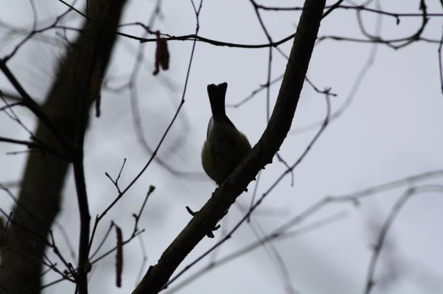Its colourful mix of blue, yellow, white and green make the blue tit one of the most attractive resident garden birds.