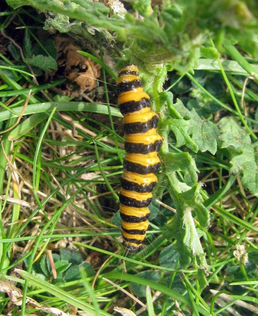 A common moth that flies during the day with bright red and black colouration. The caterpillar (pictured) is also brightly coloured, with black and gold stripes. The bright colours warn predators that it is extremely unpleasant to eat. Cinnabar moths can be found throughout Britain, except northern ...