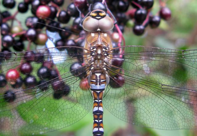Thisa dragon fly is occasionally seen in large feeding swarms. It flies late into the autumn and is likely to be the only Hawker found in November. The male looks quite dark with blue, paired spots along the abdomen with blue eyes. The female is brown with similar markings to the male but the spots ...