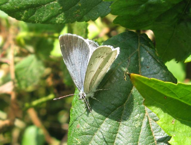 This small very pretty sliver-blue butterfly is widespread throughout Britain and Europe. It inhabits hedgerows, woodlands and gardens, particularly where there is both holly and ivy. It has a few small black spots across its wings and a black border that is more pronounced in females. The underside...