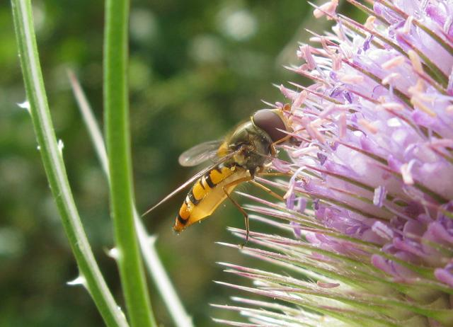 A relatively small hoverfly (9–12 mm) of the Syrphidae family. The upper side of the abdomen is patterned with orange and black bands with secondary black bands on the 3rd and 4th dorsal plates and of faint greyish longitudinal stripes on the thorax. can be found throughout the year in various hab...