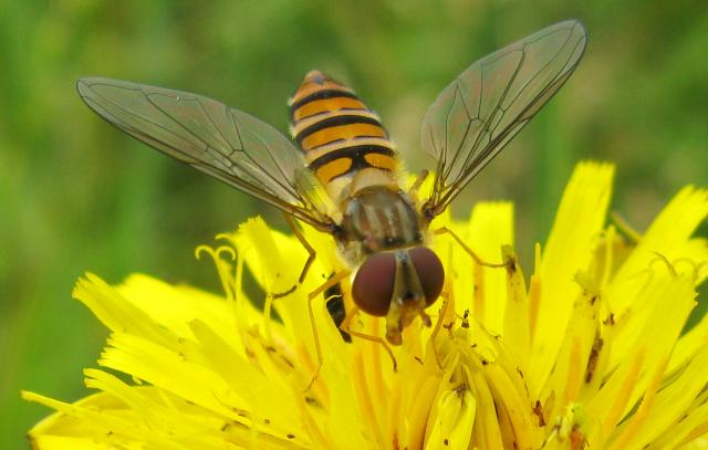 A relatively small hoverfly (9�12 mm) of the Syrphidae family. The upper side of the abdomen is patterned with orange and black bands with secondary black bands on the 3rd and 4th dorsal plates and of faint greyish longitudinal stripes on the thorax. can be found throughout the year in vario...