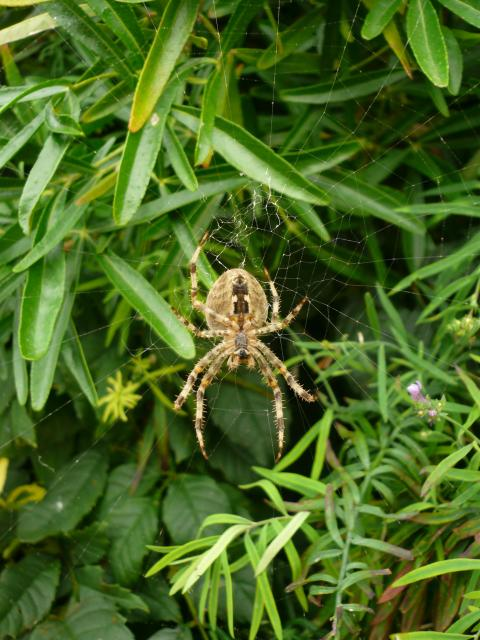The most commonly seen spider in our gardens, hence it name. Garden spiders vary in colour from a light yellowy-brown to very dark brown, but they all have a characteristic white cross-shaped group of spots on their abdomen. It spins the familiar orb web and feeds on flies, wasps � [R...