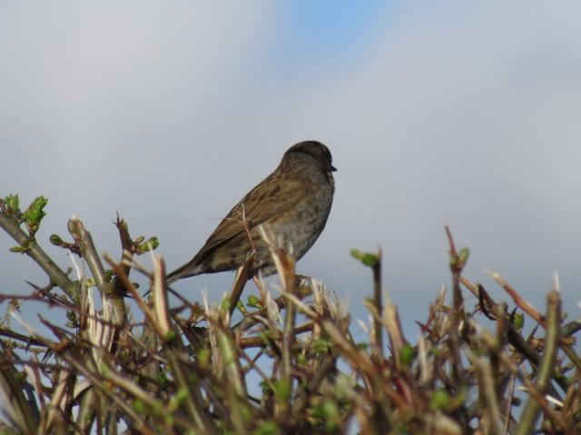 The dunnock is a small brown and grey bird. It inhabits any well vegetated areas with scrub, brambles and hedges.