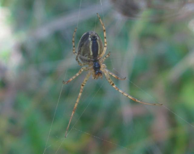 Metellina segmentata is a spider in the Tetragnathidae family. Adults can be found from August to October in open habitats (edges of a wood, or gardens) and are amongst the most frequent orb-weaving spiders. The web has no threads at its center, similar to most tetragnathid spiders. Most webs are �...