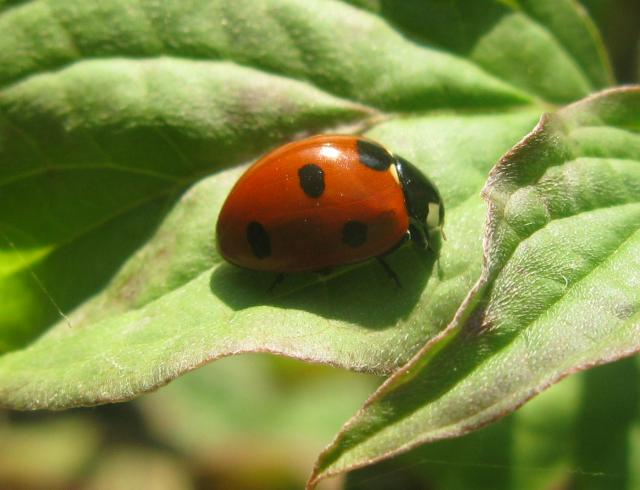 This ladybird is very common across Britain. Its elytra (wing coverings) are of a red colour, but punctuated with three black spots each, with one further spot being spread over the junction of the two, making a total of seven spots. Ladybirds are perhaps the most well-known of all British beetles. ...