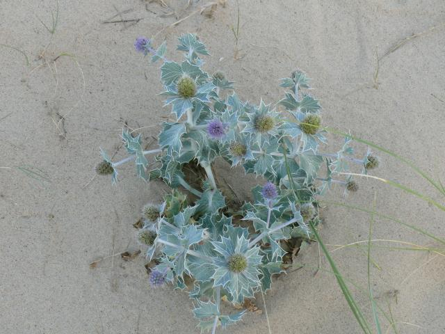 The Sea Holly flowers are usually burr-shaped and metallic blue. The leaves have spines and a thick outer cuticle to protect against the sea spray and water loss. It can be found on sand dunes.