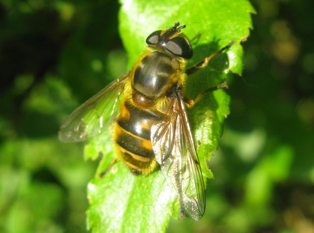 A very common European and North African species of hoverfly. It can be seen on flowers from May to September. It is a large hoverfly yellow, with two light bands to the thorax, interrupted with a black central smudge. It can be very variable in size, shape and colour.