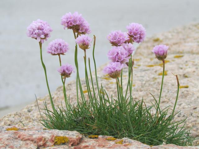 This plant grows on cliffs and in salt marshes. The photograph is of a single plant but it is often seen in large drifts of plants. It is well adapted to infertile terrain; it is salt tolerant with long roots. It is also sometimes known as Sea pink or Rock rose. It remains green throughout most of t...