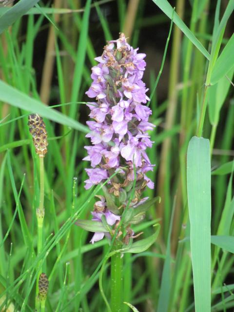 This plant is found throughout the UK except in the North. It is most dense in the South and East Anglia. It grows in calcareous damp meadows, marshes, dune-slacks and by roads and paths. It is a perennial herb, growing up to 50cm. It flowers late May to July. 