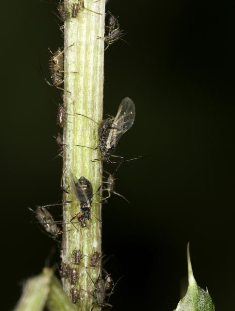 This aphid is globally distributed, found commonly in temperate regions of the northern hemisphere and in cooler regions of South America, Africa, and the Middle East. It has one of the broadest host ranges, having been recorded from nearly 120 plant families. It is a tiny black insect (adult aphids...