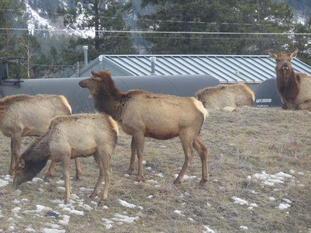 The elk or wapiti (Cervus canadensis) is one of the largest species of the deer family in the world, and one of the largest land mammals in North America.