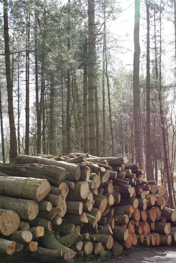 Felled trees in Delamere Forest, Cheshire
