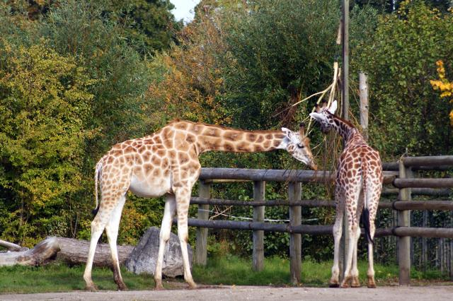 Rothschild's Giraffe at Chester Zoo