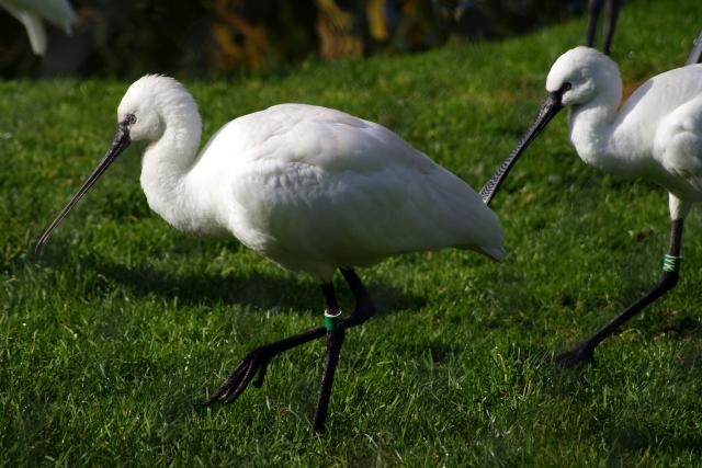 Spoonbill at Chester Zoo