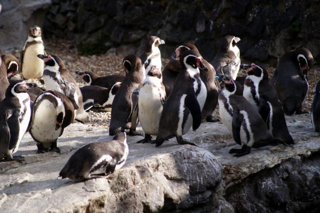 Humboldt Penguins at Chester Zoo