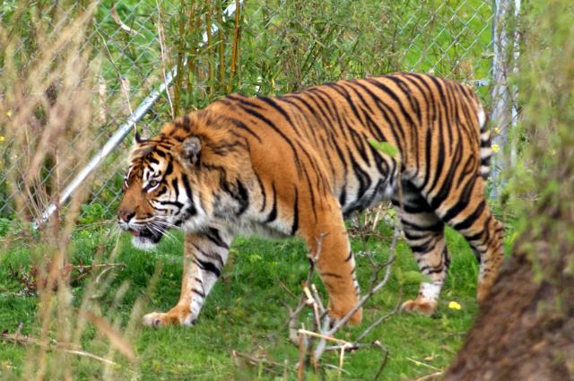 A Sumatran Tiger at Chester Zoo