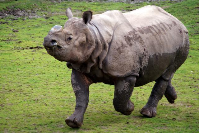Rhinoceros at Chester Zoo