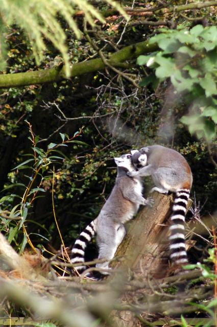 Ring-tailed lemurs at Chester Zoo