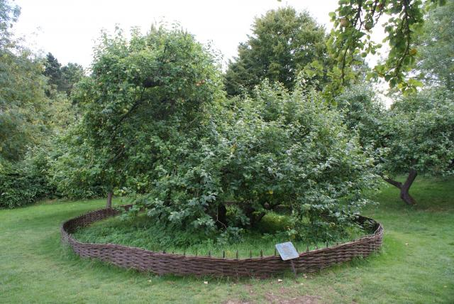 Woolsthorpe Manor was the birthplace and family home of Sir Isaac Newton. This apple tree gave rise to the story of Newton and his thinking about gravity.