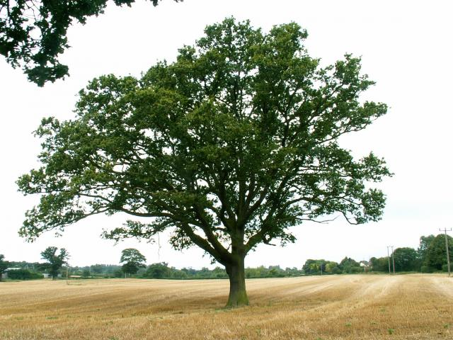 A set of images of the same oak tree photographed around the school year (2005-6) Image 1 (August 29th)