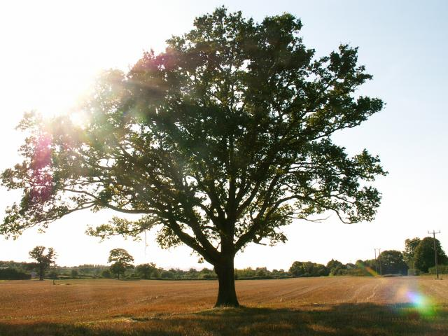 A set of images of the same oak tree photographed around the school year (2005-6) Image 2 (September 2nd)