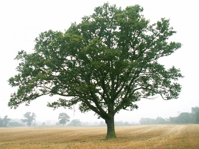 A set of images of the same oak tree photographed around the school year (2005-6) Image 3 (September 4th)