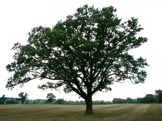 A set of images of the same oak tree photographed around the school year (2005-6) Image 4 (September 10th)