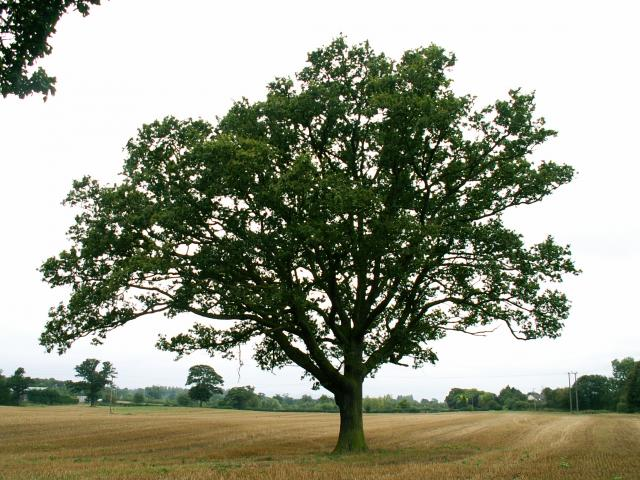 A set of images of the same oak tree photographed around the school year (2005-6) Image 5 (September 11th)