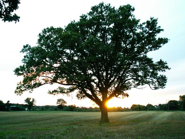 A set of images of the same oak tree photographed around the school year (2005-6) Image 6 (September 17th)