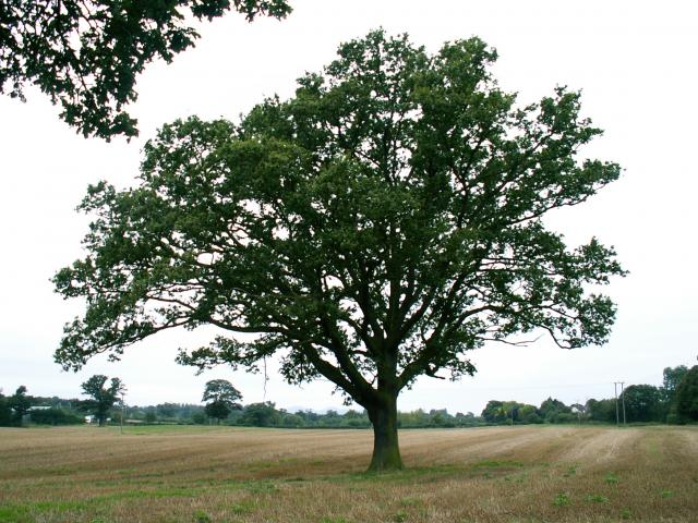A set of images of the same oak tree photographed around the school year (2005-6) Image 7 (September 18th)