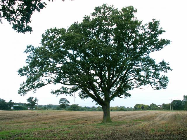 A set of images of the same oak tree photographed around the school year (2005-6) Image 8 (September 25th)