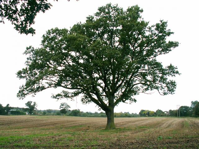 A set of images of the same oak tree photographed around the school year (2005-6) Image 9 (October 2nd)