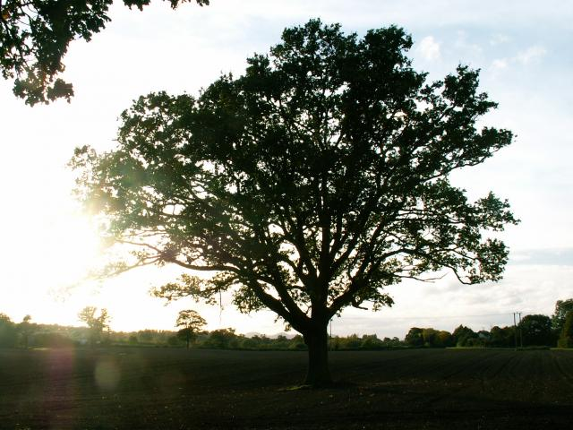 A set of images of the same oak tree photographed around the school year (2005-6) Image 10 (October 9th)