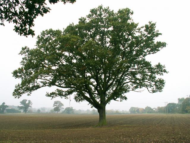 A set of images of the same oak tree photographed around the school year (2005-6) Image 11 (October 16th)