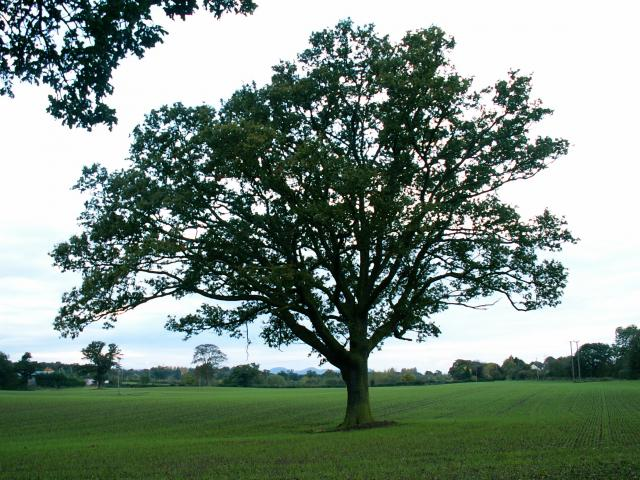 A set of images of the same oak tree photographed around the school year (2005-6) Image 12 (October 23rd)