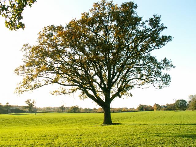 A set of images of the same oak tree photographed around the school year (2005-6) Image 13 (November 13th)