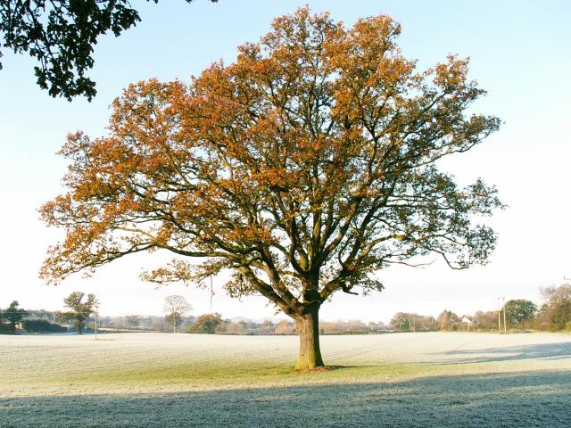 A set of images of the same oak tree photographed around the school year (2005-6) Image 14 (November 20th)