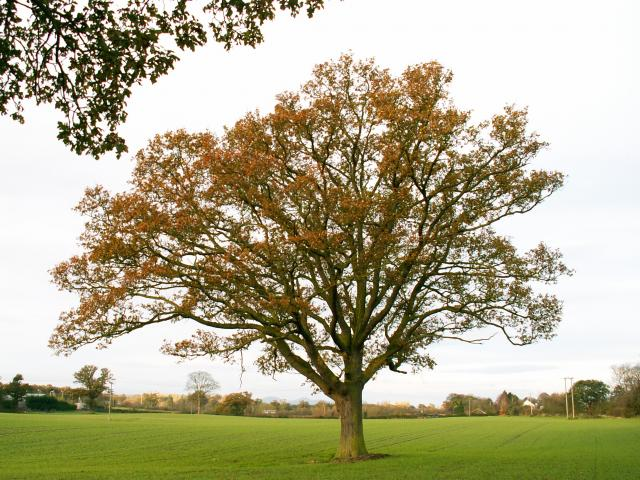 A set of images of the same oak tree photographed around the school year (2005-6) Image 15 (November 27th)