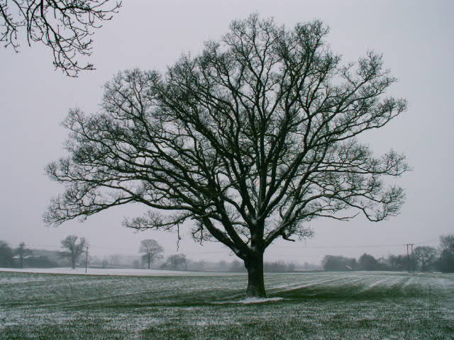 A set of images of the same oak tree photographed around the school year (2005-6) Image 21 (March 12th)