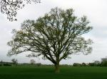 A set of images of the same oak tree photographed around the school year (2005-6) Image 22 (April 29th)