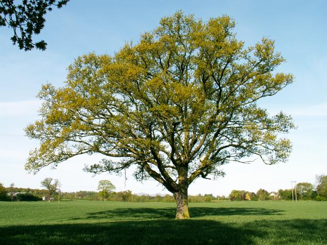 A set of images of the same oak tree photographed around the school year (2005-6) Image 23 (May 7th)
