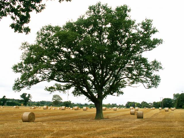A set of images of the same oak tree photographed around the school year (2005-6) Image 24 (August 5th)