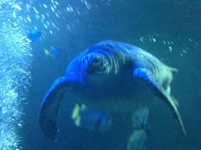 Giant turtle at the Sea Life Centre at Hunstanton